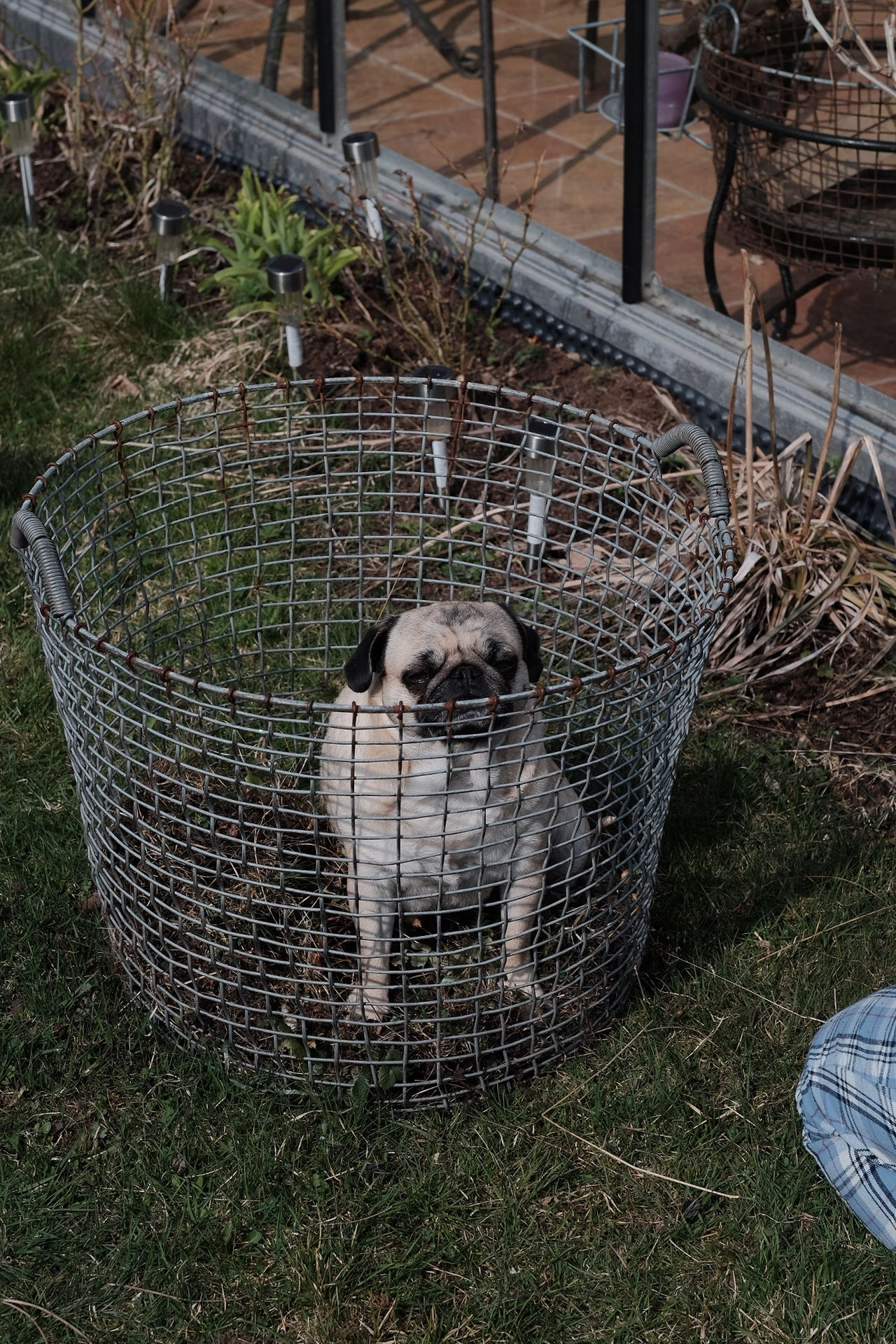 Beautiful stock photos of pugs, Animal, Animal Themes, Animals In Captivity, Cage