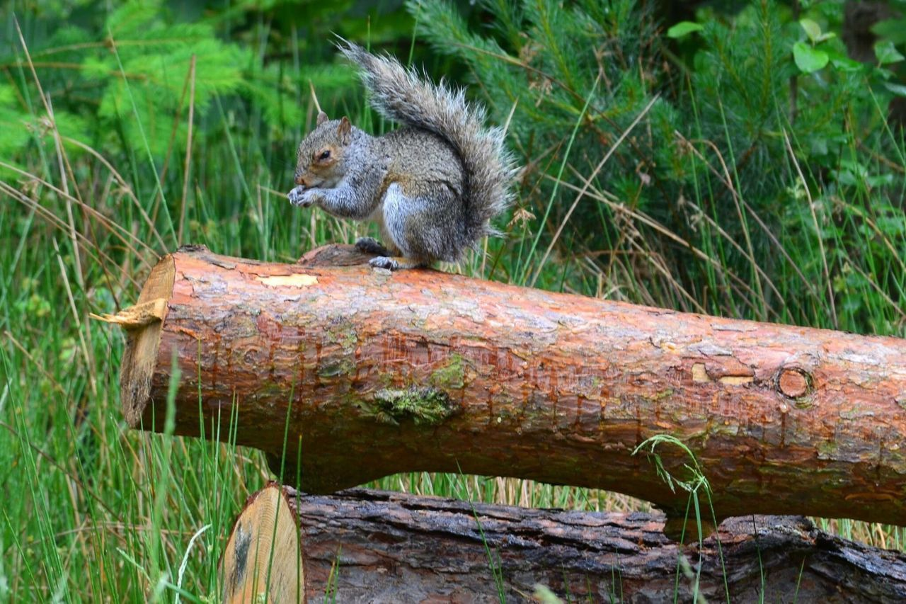 animals in the wild, one animal, animal themes, animal wildlife, mammal, day, outdoors, no people, nature, squirrel, grass, sitting