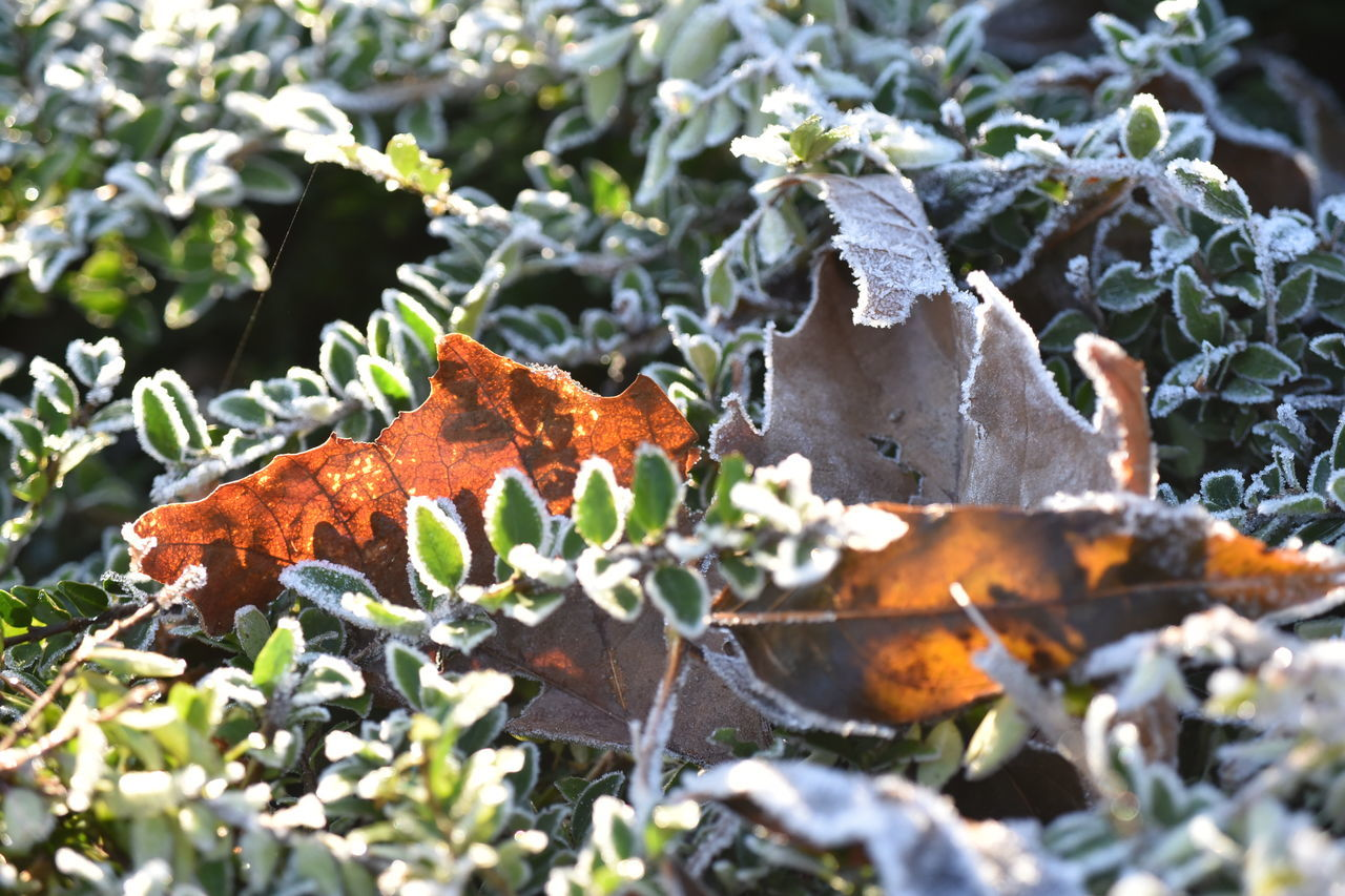 Animal Themes Animals In The Wild Autumn Beauty In Nature Change Close-up Day Growth Leaf Leaves Nature No People Outdoors Plant White Frost