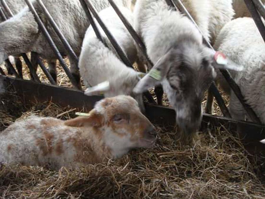 Baby Sheep Sheepfarm Fresh On Eyeem  Taking Photos Sheep Ranch Mechelen Sheep🐑 Sheep Sheeps Taking Photos The Week On Eyem