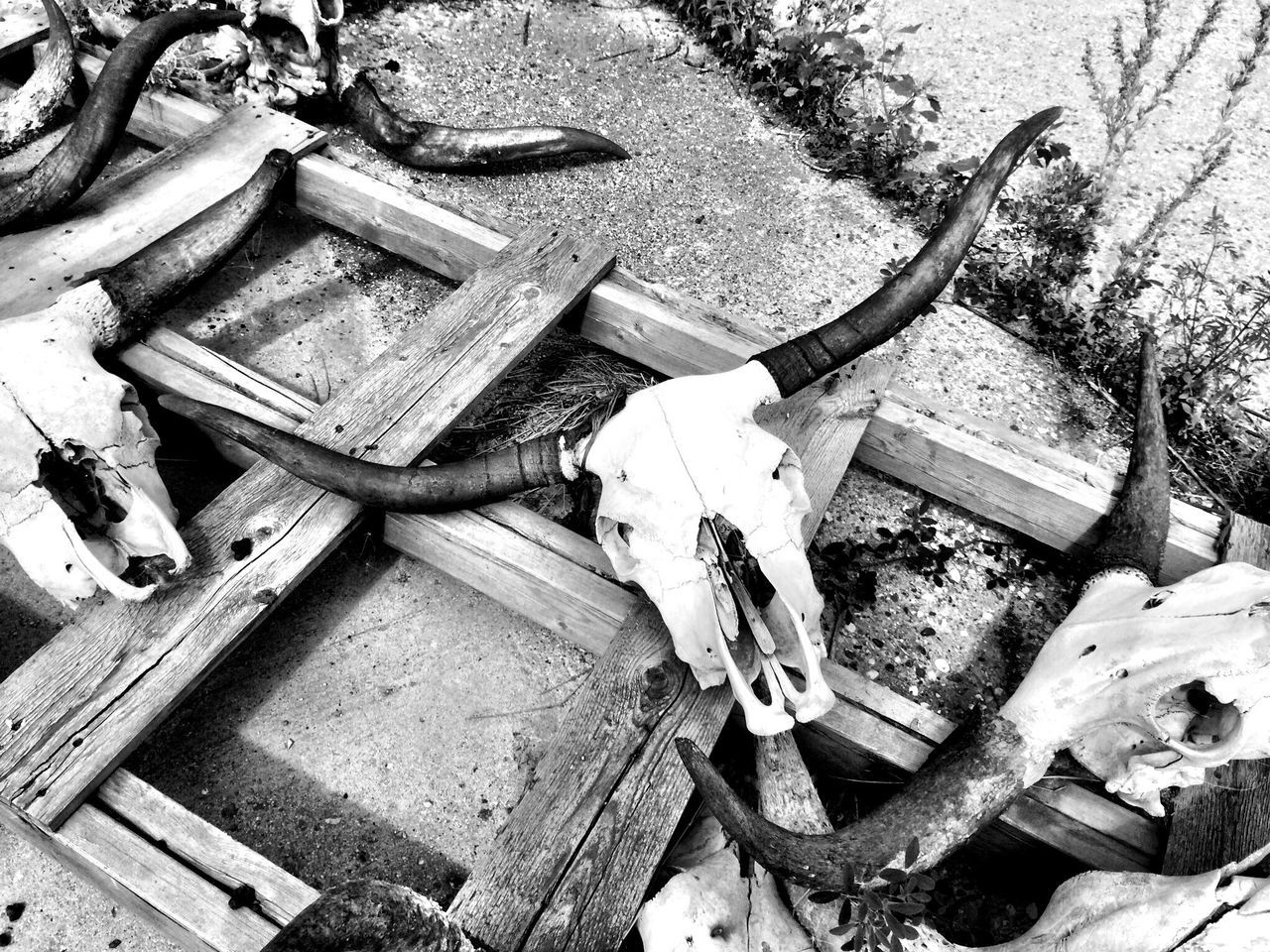 Cattle horns on ghost farm in North Dakota. IPhoneography Black And White Farm Country