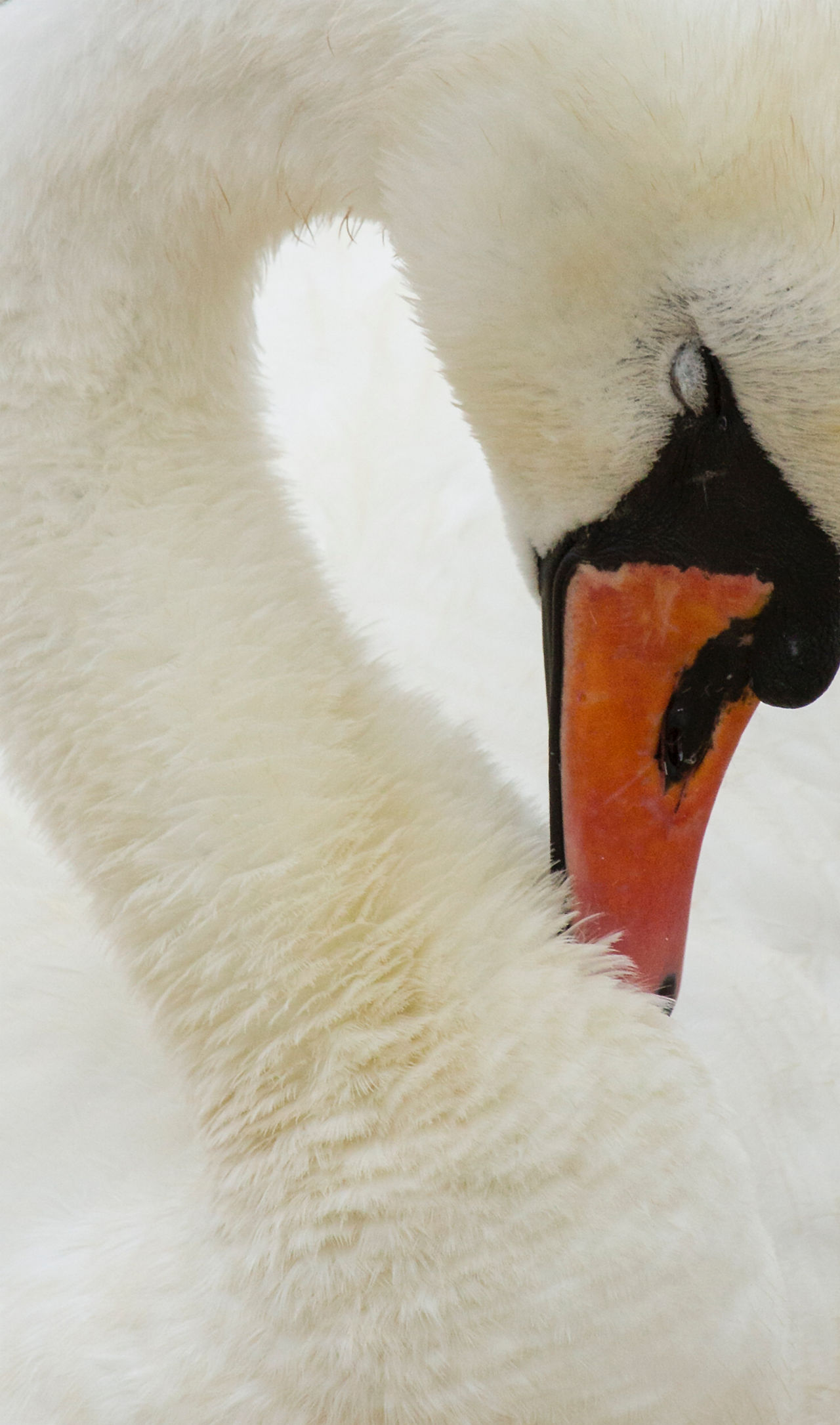 Animal Body Part Animal Head  Animal Themes Bird Close-up Day Nature No People One Animal Orange Color Outdoors Part Of Sleeping Swan,  White White Color Wildlife Zoology
