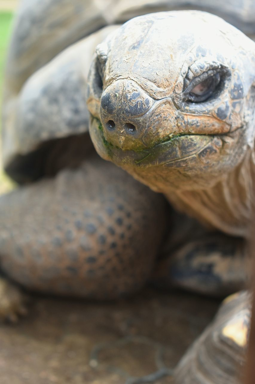 animals in the wild, reptile, one animal, animal themes, animal wildlife, tortoise, close-up, no people, day, outdoors, nature, tortoise shell