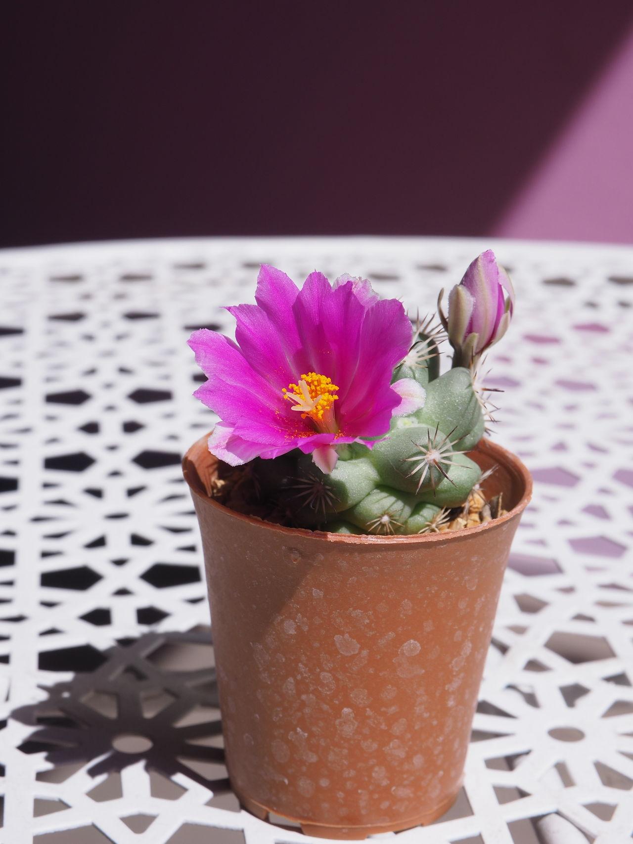 Cactusflower Cactus