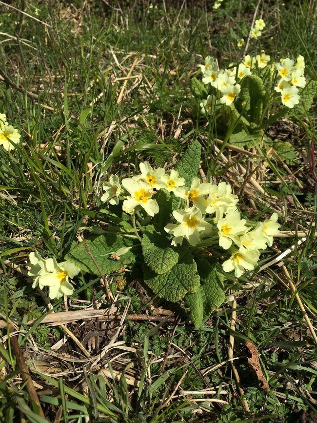 Spring Springtime Spring Flowers Flowers Yellow Primrose Primroses Plant Nature