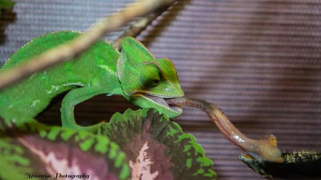 Reptile Lizard Animal Wildlife Green Color Chameleon Branch Close-up Dinner Time Tounge Out  Feeding Animals Animal Themes No People Reptile Photography