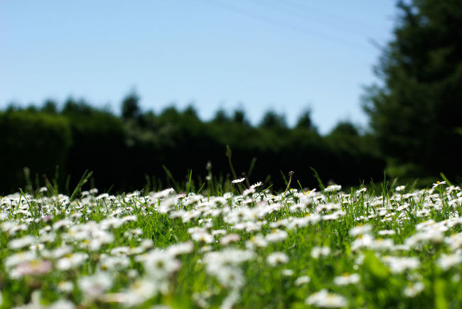 Beauty In Nature Clear Sky Daisy Grass Green Color Paquerettes Selective Focus Surface Level Tranquility