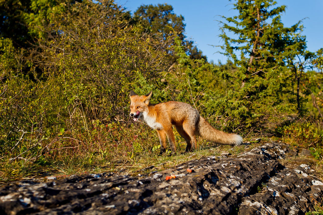 Animal Themes Autumn Forest Forest Autumn Fall Colours Forest Photography Fox Fox In Wild Mammal Nature No People One Animal Outdoors Wild Wild Animals Wild Animals Close Up Wild Fox Wildlife Wildlife & Nature Wildlife Photography Wildlifephotography The Week On EyeEm Bestseller  Market Market Bestsellers 2016