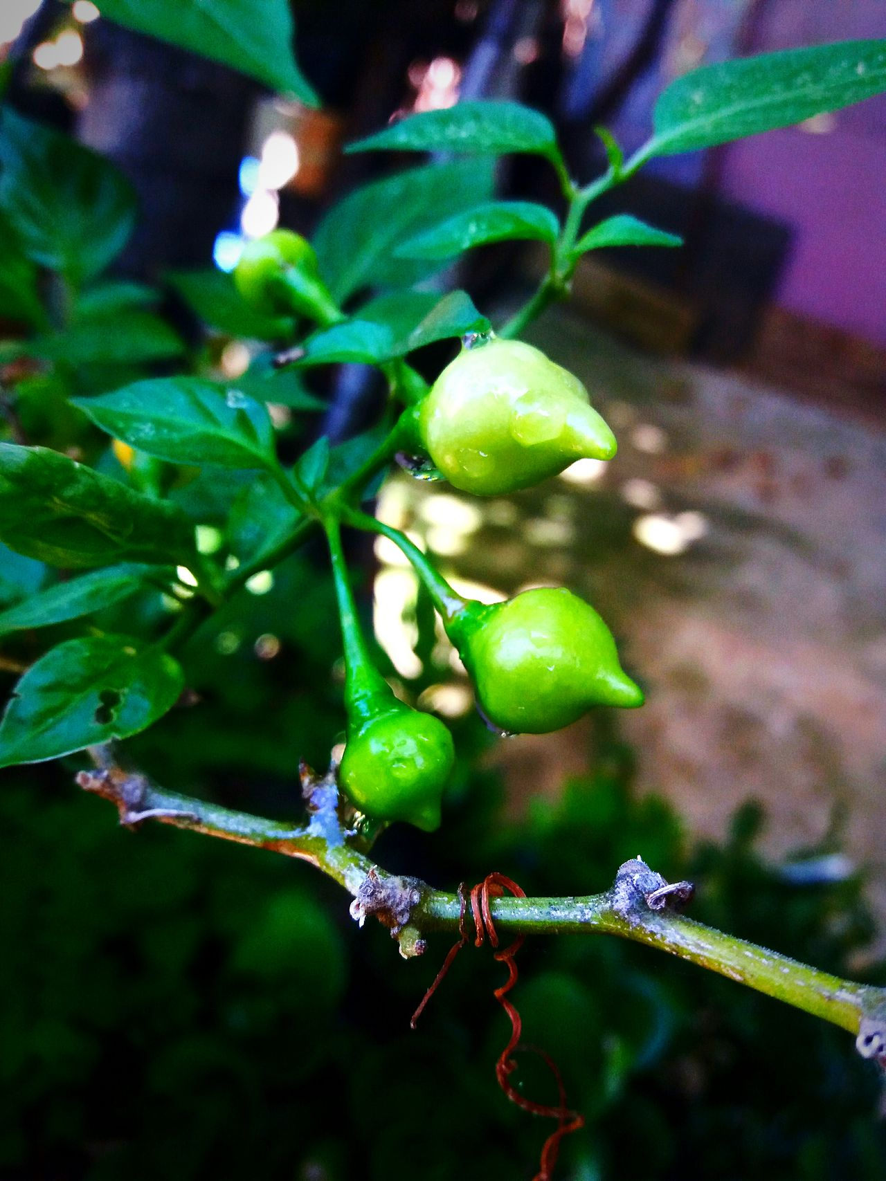 Green Color Nature Beauty In Nature Pimenta Bh
