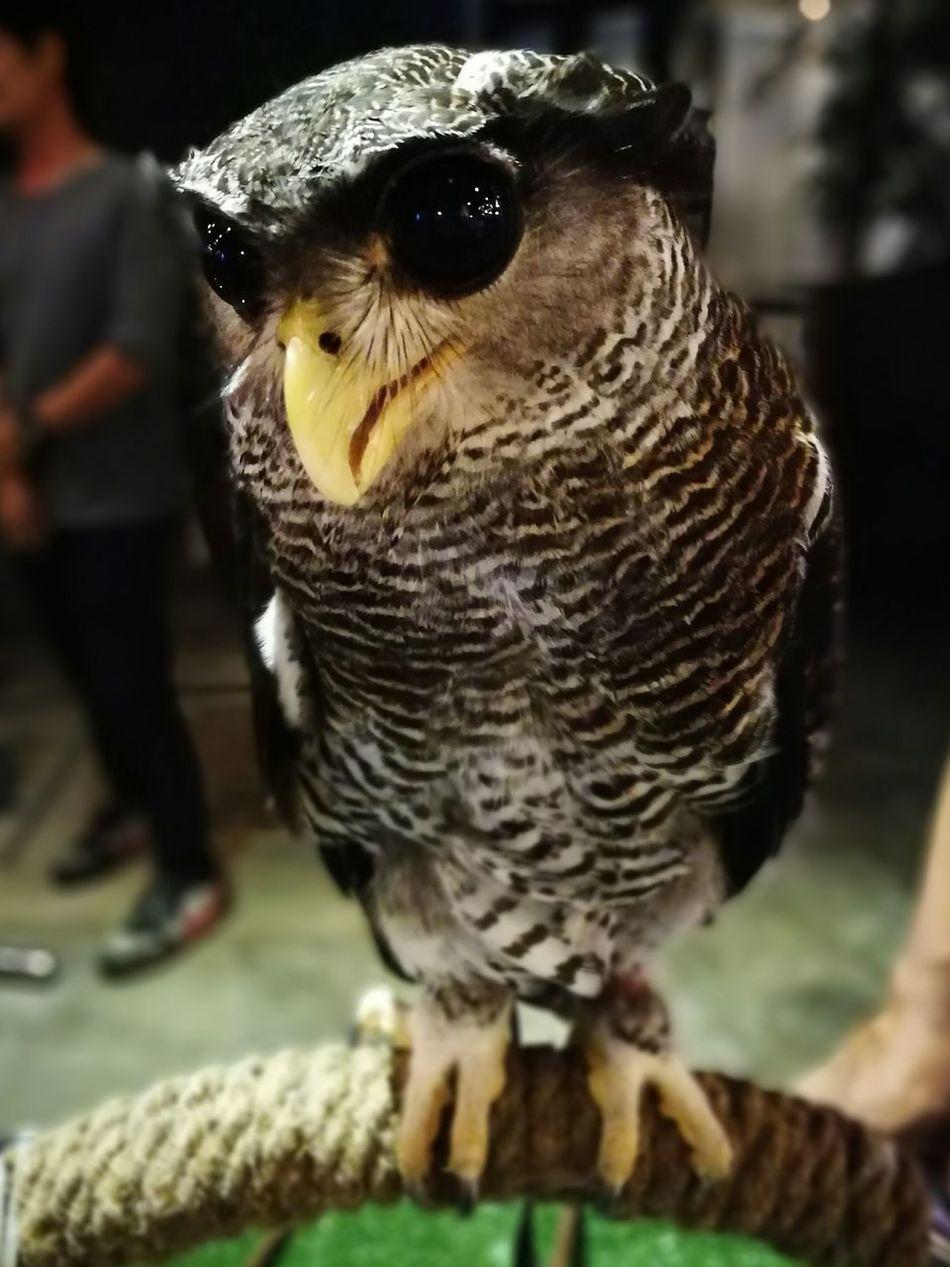 นก นกฮูก บิกอาย big eye Bird Cute Birds Eye View OWLEYE Owl