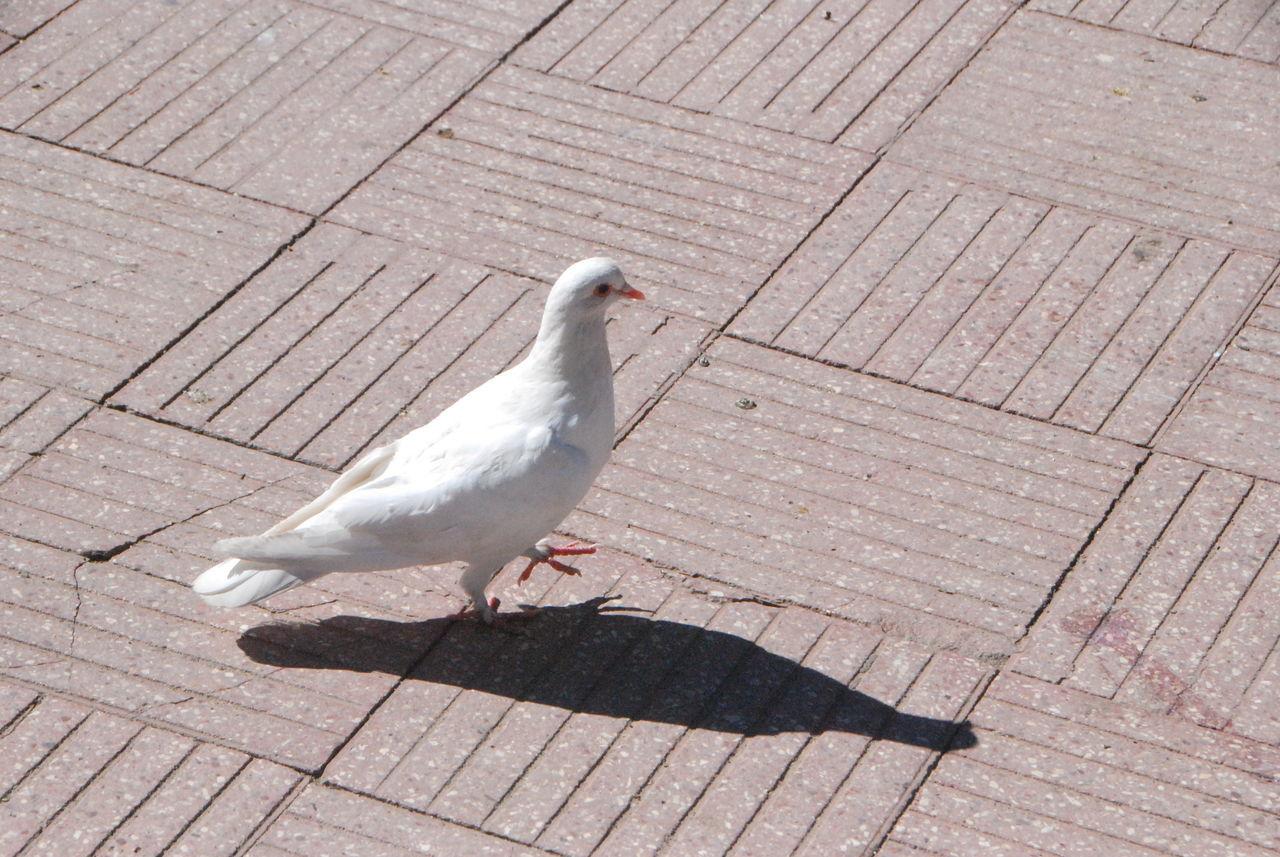 Beautiful stock photos of dove, Animal Themes, Bird, Day, Dove
