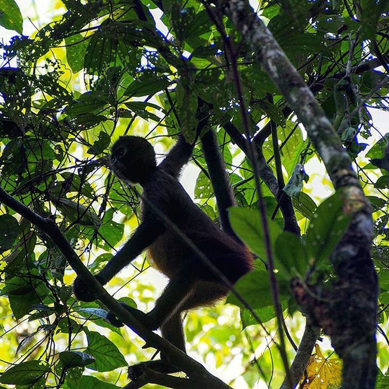 A howler monkey hanging around in a tree while we were on a nature walk in Tortugeuaro, Costa Rica _____________________________________ Howlermonkey Monkey Monkeyingaround Tortuguero  Tortugueronationalpark Wildlife_perfection Wildlifephotography Wild Wildlife Wildlife_seekers Naturephotography Naturelover Nature Naturelovers Costarica2015 Costaricagram Costarica Gadventures Travel Travelgram Instatravel Takemeback Olympus