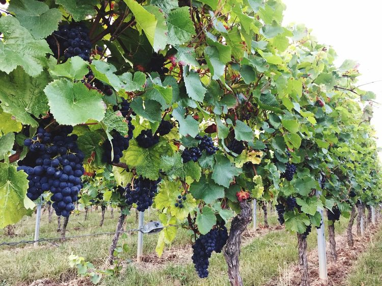 Vineyard Grape Vine Winemaking Agriculture Nature Germany GERMANY🇩🇪DEUTSCHERLAND@ Rheingau Wine Country Wine Wineyard Redwine Winegrapes