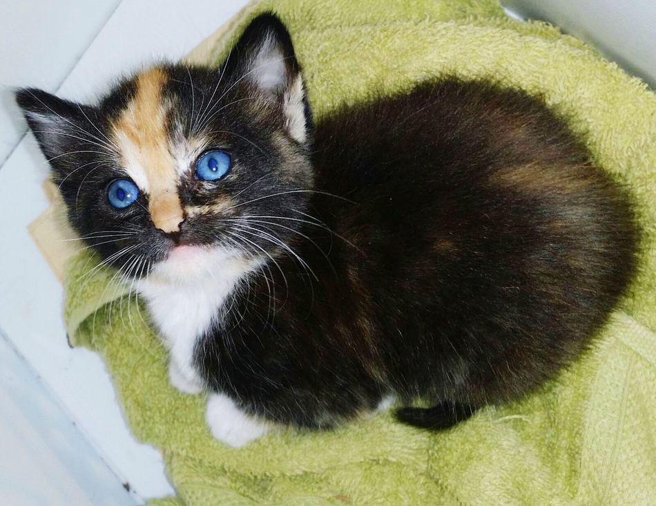 Kitty Kitten TooCute Too Cute! Blue Eyes BlueEyes Adorable Todiefor Tinycat Amazingeyes