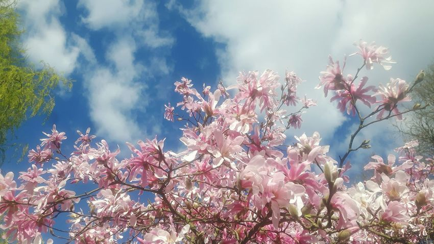 Tree Nature Beauty In Nature Low Angle View Branch Growth Blossom Sky Outdoors No People Springtime Flower Almond Tree Treetop Cloud - Sky Magnolia Loebneri Magnolias Blooming Magnolienknospe Close-up Freshness Plant Freshness Day Scenics Fragility