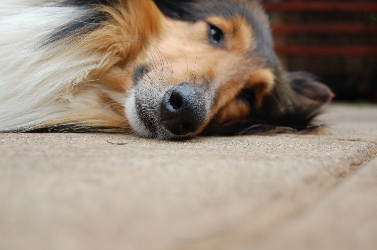 dog, pets, one animal, domestic animals, animal themes, mammal, surface level, lying down, selective focus, animal head, close-up, animal nose, no people, portrait, relaxation, looking at camera, day, outdoors