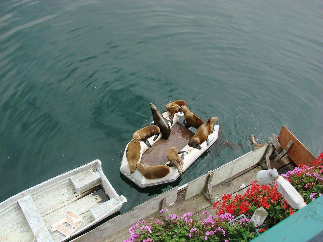 Nautical Vessel Travel Water No People Outdoors Day Seal Sea Life Seals Sealovers Animals Seal - Animal Boat Boats Rubber Boots Seals Chilling Seals On The Dock EyeEmNewHere
