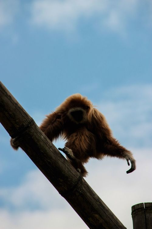 One Animal Low Angle View Animal Themes Animals In The Wild Sky Mammal Monkey Outdoors Day Animal Wildlife Tree No People Nature Full Length Climbing Walking Running Red Fur On Branch The Week On EyeEm