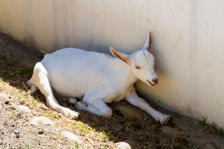 A White Goat Animal Themes Cute Day Domestic Animals Farm Farm Animal Goat Kid Goat Mammal No People One Animal Outdoors Shade Summer White White Goat