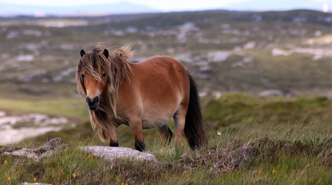 Eriskay Pony. Loch Skipport, South Uist. Scotland Hebrides Uist Canon1200d Canon Westenisles Outherhebrides Horse Pony Nature
