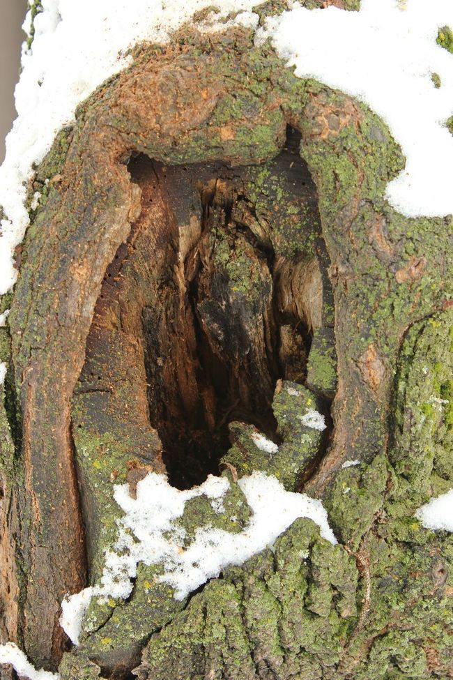 Tree Image Owl Outline Hole In Tree Snow ❄ Tree Stump Moss Texture Browns Rotting Nature this limb was cut off the tree years ago. its still in our yard because it is alive and glorious. Nature Heals