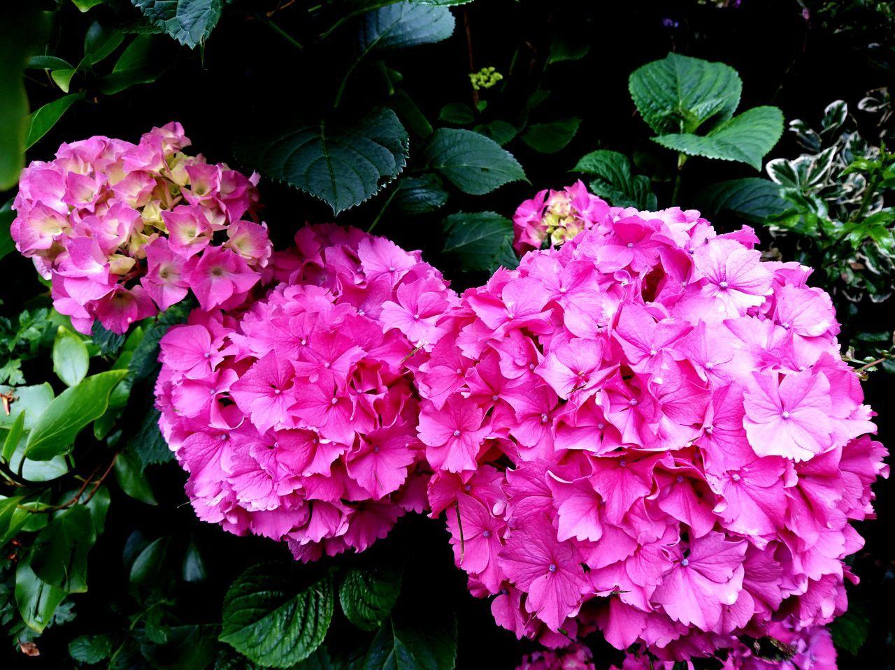 Hydrangea Pink Pink Flowers Garden Photography Garden Colorful