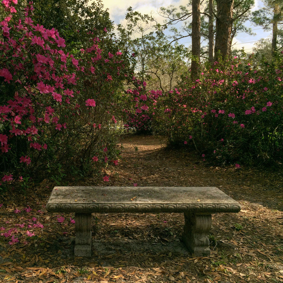 Quiet place Azaleas Azaleas In Bloom Beauty In Nature Bench Bench Concrete Bench Day Flower Freshness Garden Growth Nature No People Outdoors Park Bench Plant Quiet Places Quite Place Scenics Serenity Serenity In Nature Tranquility Tree