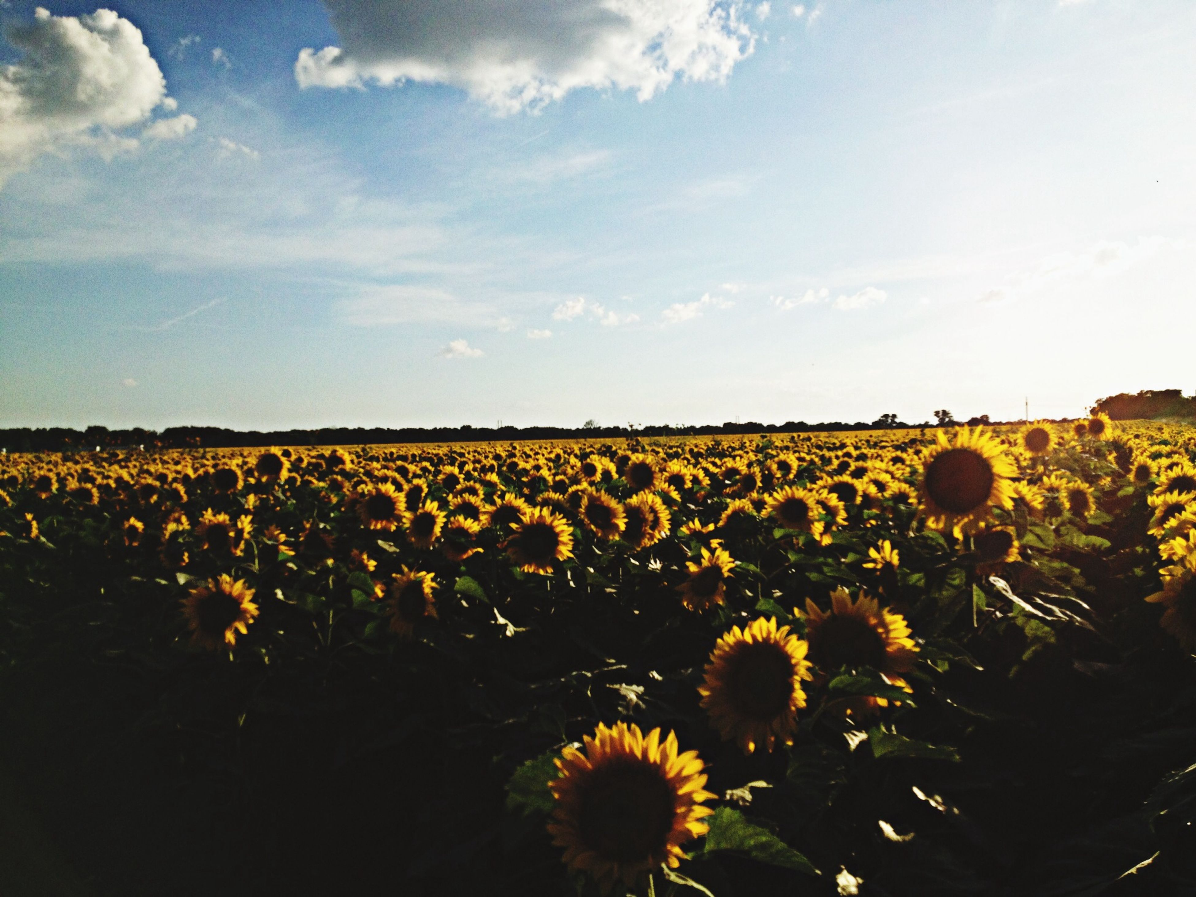 flower, yellow, growth, beauty in nature, sky, rural scene, freshness, agriculture, field, sunflower, nature, plant, fragility, landscape, blooming, petal, abundance, cloud - sky, tranquility, tranquil scene