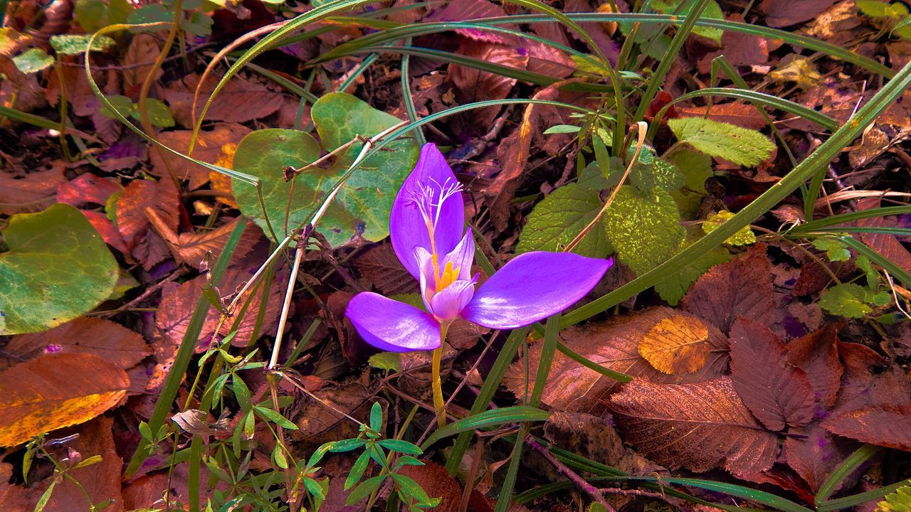 petal, flower, leaf, growth, beauty in nature, nature, freshness, fragility, flower head, day, no people, plant, outdoors, close-up, crocus
