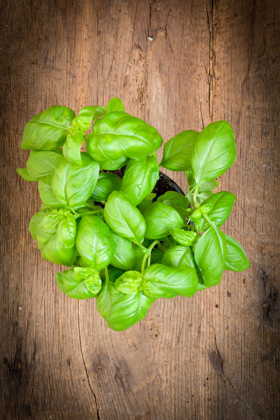 Fine grown basil Basil Basil Bud Basil Plant Cooking Herb Herbalism Ingredient Kitchen Herbs Mediterranean  Wooden Background