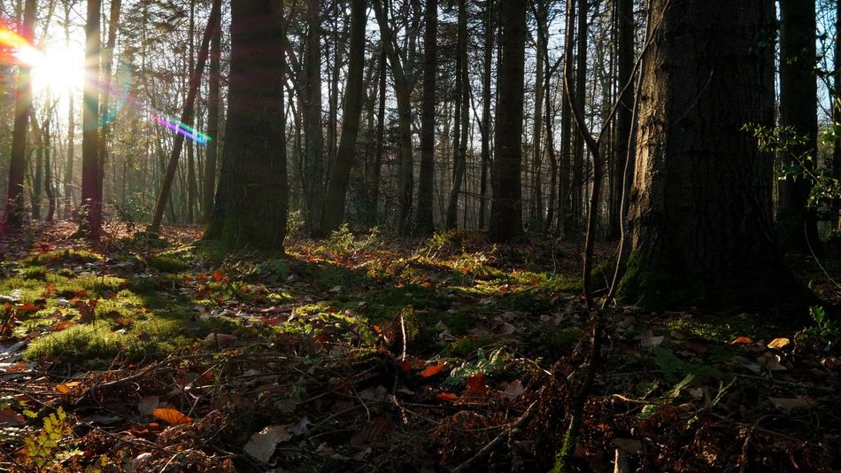 Forest Tree Growth Nature Beauty In Nature Forest Tranquility Tranquil Scene Sunlight No People Sunbeam Outdoors Multi Colored Scenics Sun Day Lensflares