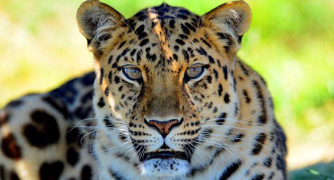Cat Portrait Nature Wildlife Nature_collection Animals Eye4photography  Popular Photos Popular