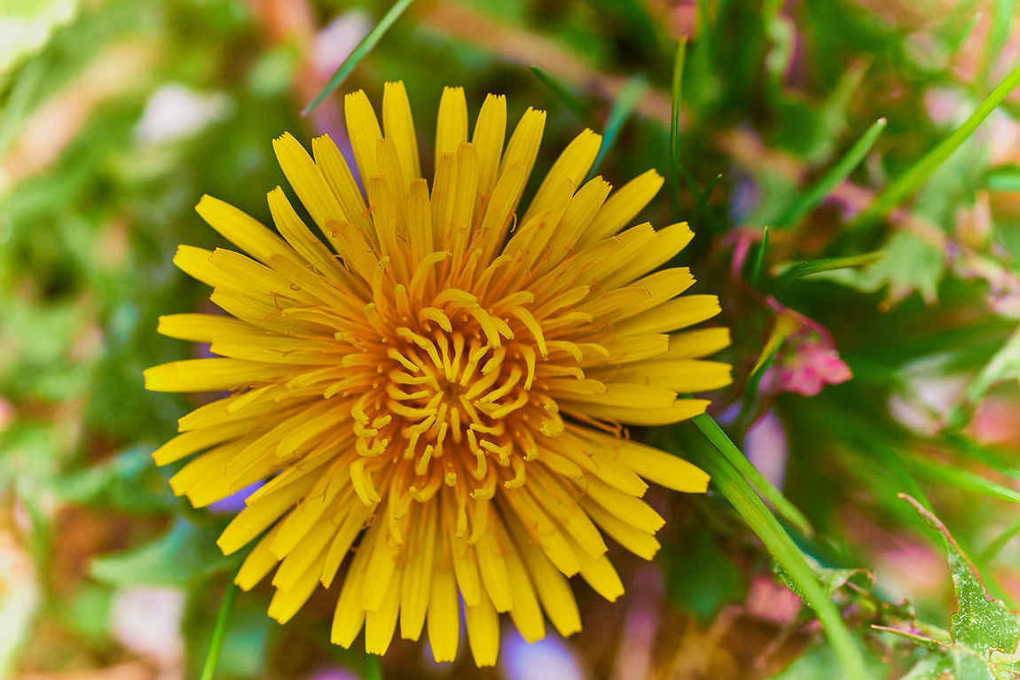 Blosssom Close Up Colorful Background Dandelion Flower Natur Nature Photography Springtime Yellow