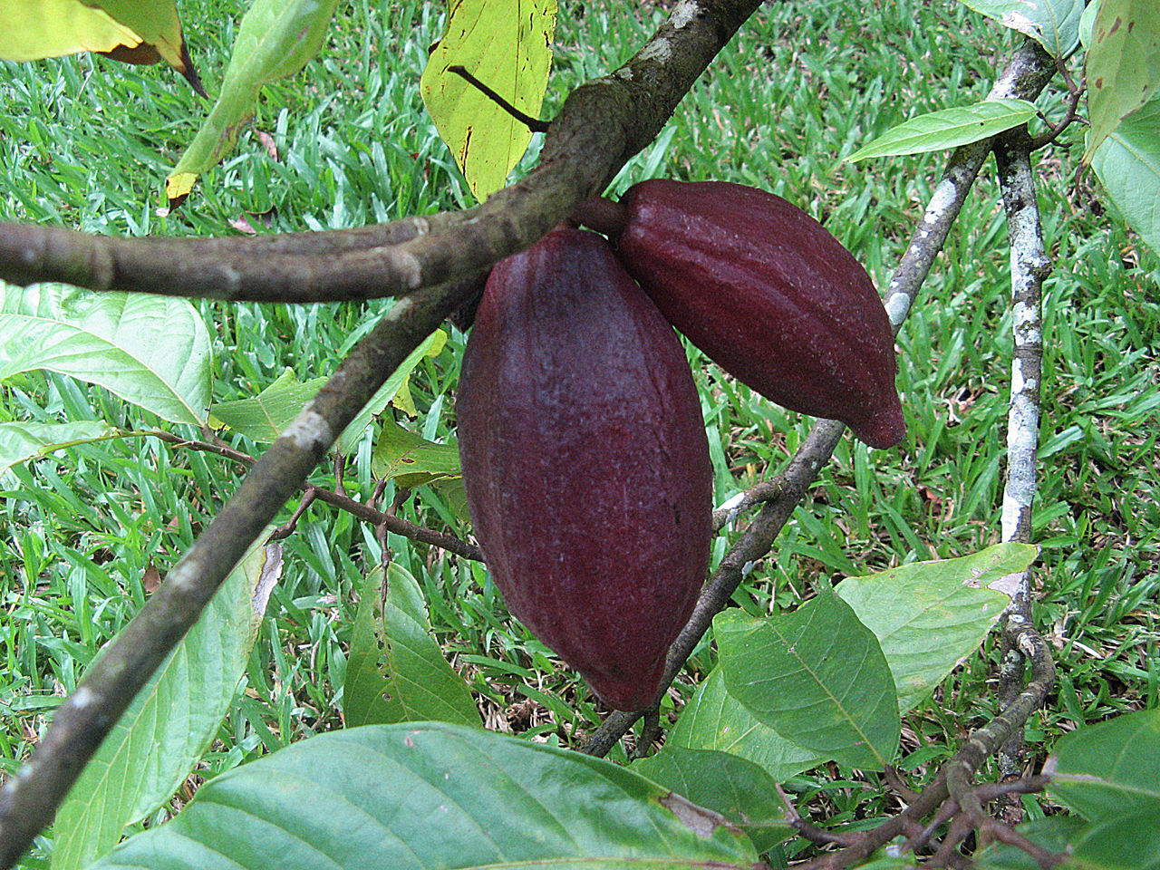Beauty In Nature Botany Branch Cacao Beans In A Fa Cactus Close-up Day Freshness Green Color Growing Growth Jamaica Large Leaf Nature No People Outdoors Plant Scenics Tranquility Tree Tree Trunk