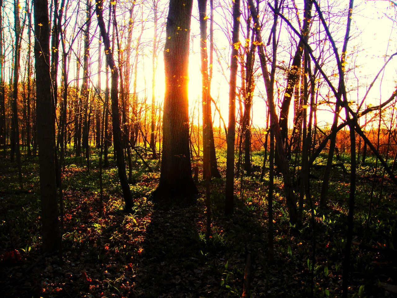 Trees in forest at sunset