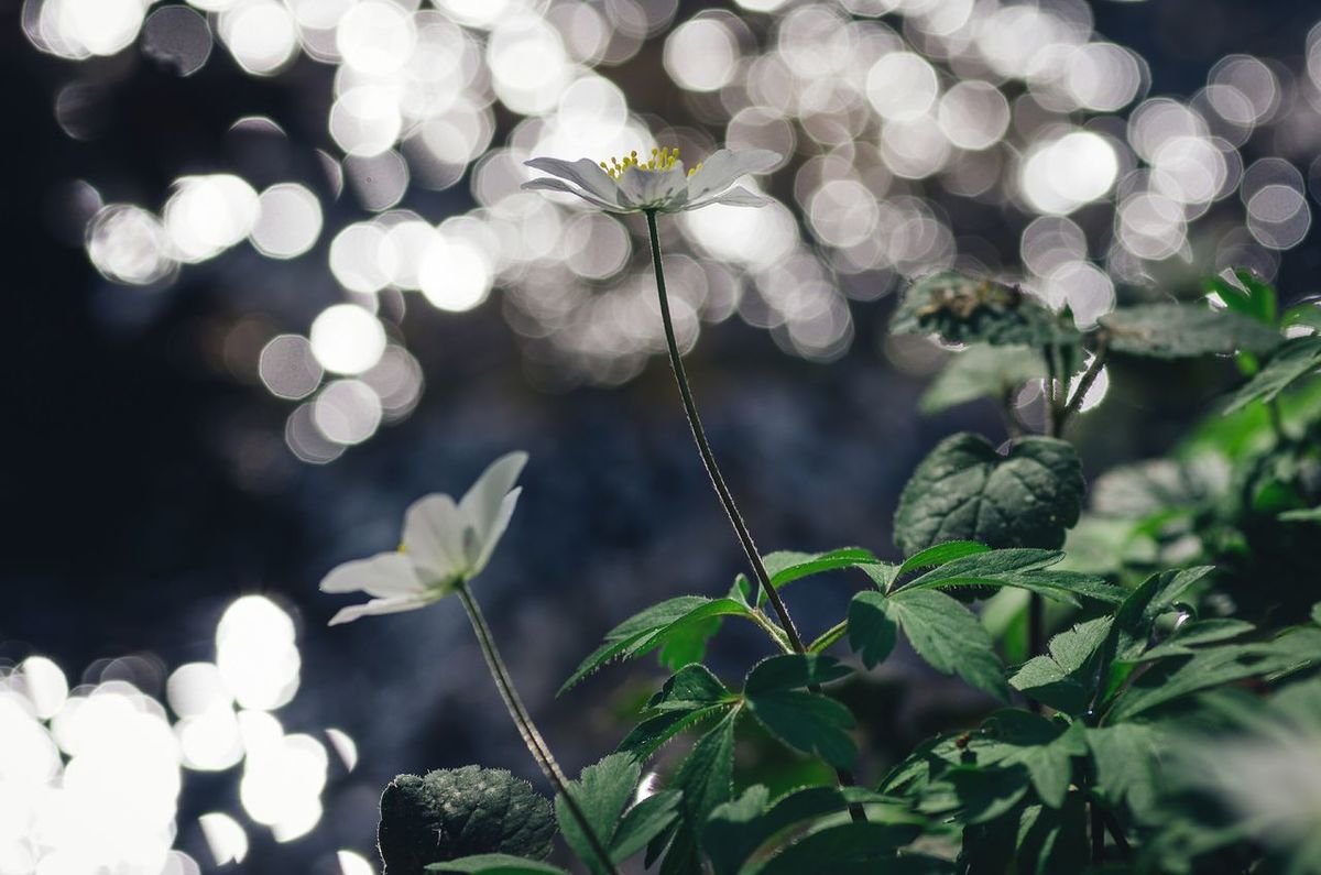 Anemone bokeh... Plant Focus On Foreground Beauty In Nature Springtime In Bloom Outdoors Plant Life Nature Flower Macro Nature Macro Photography Eye4photography  EyeEm Nature Lover Beauty In Nature Selective Focus Close-up Bokeh Photography Bokehlicious Klaquax@home