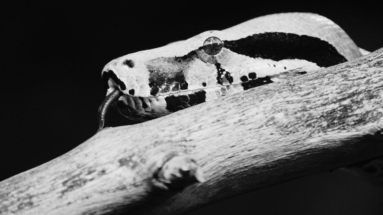 Snake 2016 Juni Niklas Monochrome Photography Maximum Closeness My Year My View Welcome To Black BYOPaper!