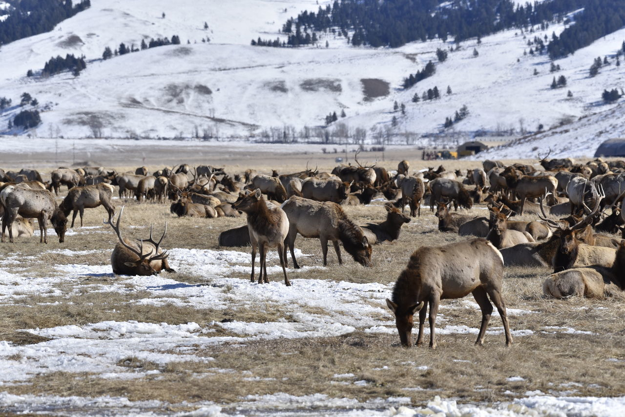 Beauty In Nature Day Ełk Landscape Livestock Mammal Medium Group Of Animals Mountain National Elk Refuge Nature No People Non-urban Scene Outdoors Scenics Tranquil Scene Tranquility Weather