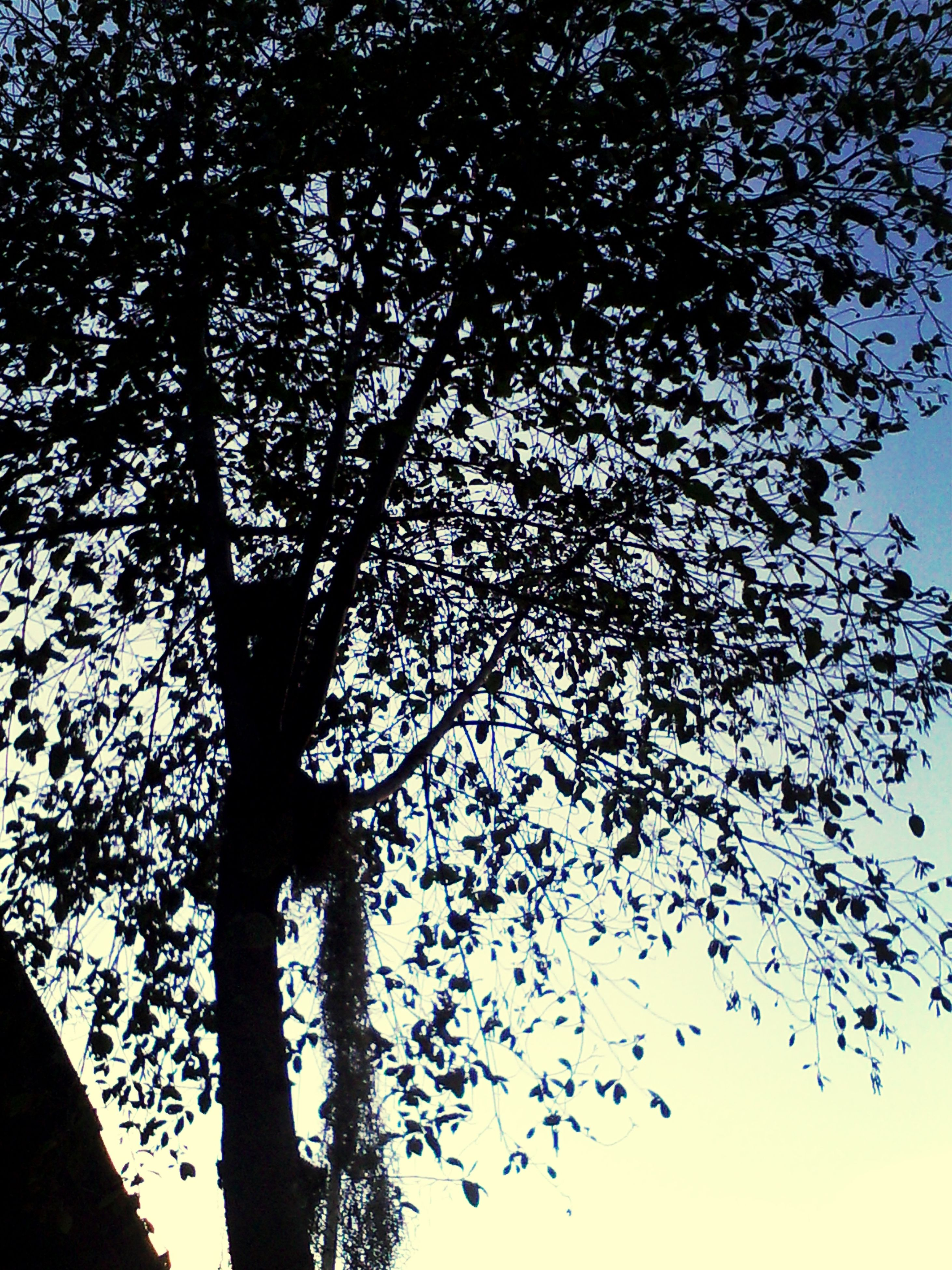 low angle view, tree, branch, silhouette, growth, nature, clear sky, sky, tranquility, beauty in nature, tree trunk, bare tree, leaf, outdoors, no people, dusk, day, sunlight, scenics, twig