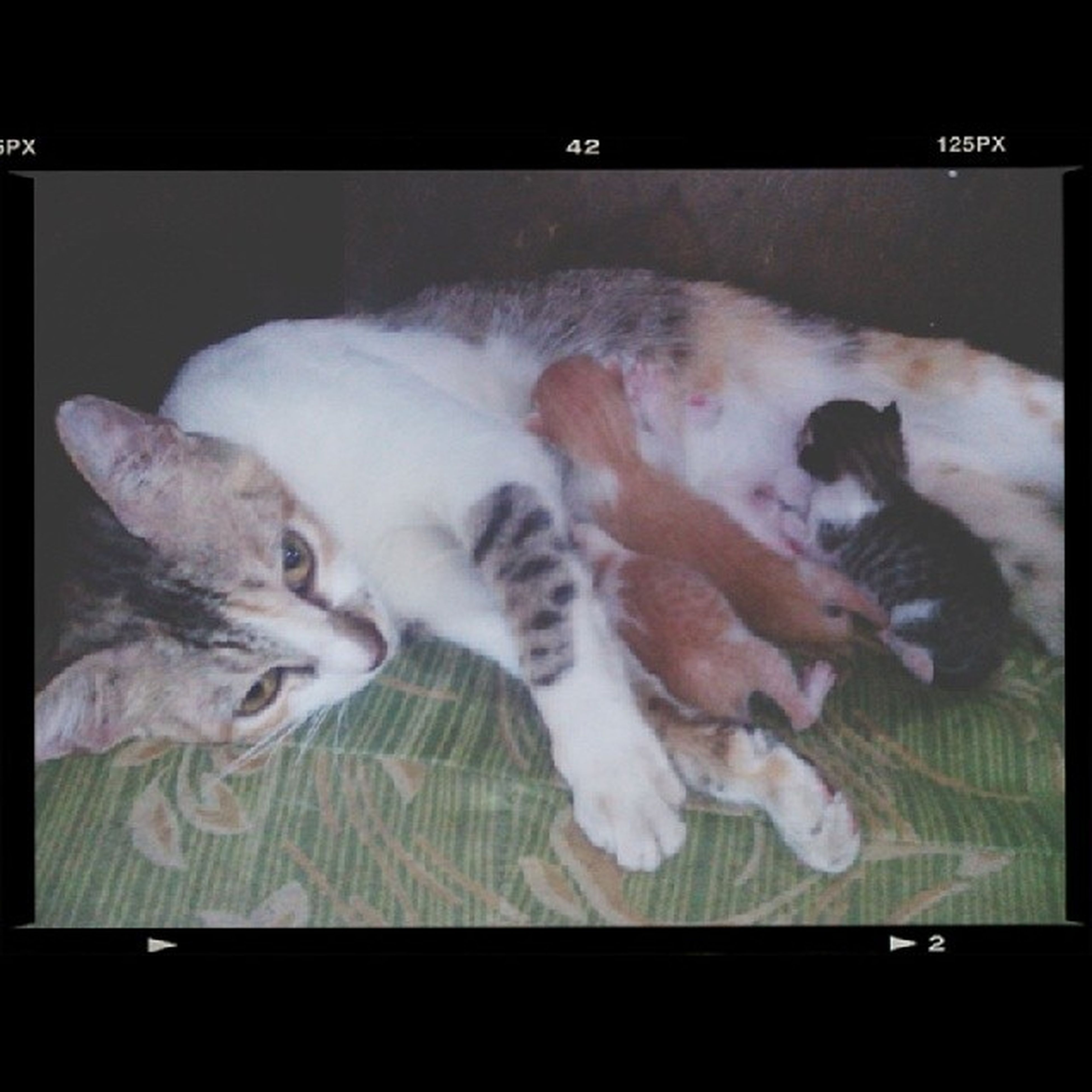 New Babies! :) Asianbobtailcat Asianbobtail Cat Cats catlover petlover animallover