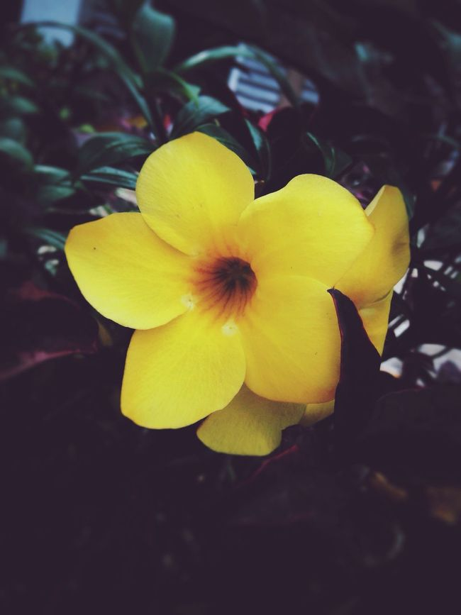 Allamanda Cathartica Yellow Flower Yellow Color All About Flowers Ilove Flowers Plant Photography Plants And Flowers Botany Olloclip Snapseed EyeEm Nature Lover EyeEm Flower Mobile Photography