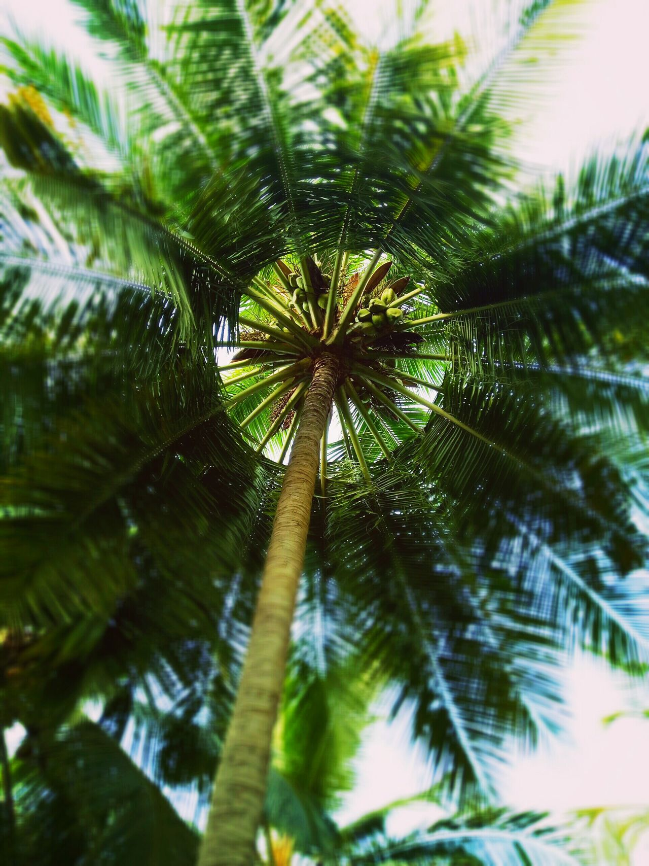 Palm Tree Tree Nature Growth Leaf Green Color Pinaceae Pine Tree Beauty In Nature Plant No People Tree Trunk Close-up Day Outdoors Growing In Strange Places Leaves Green Leaves And Sky Coconut Trees Leaves 🍁 Leaves🌿 Trees And Sky Treelovers Treetastic Tree Topper