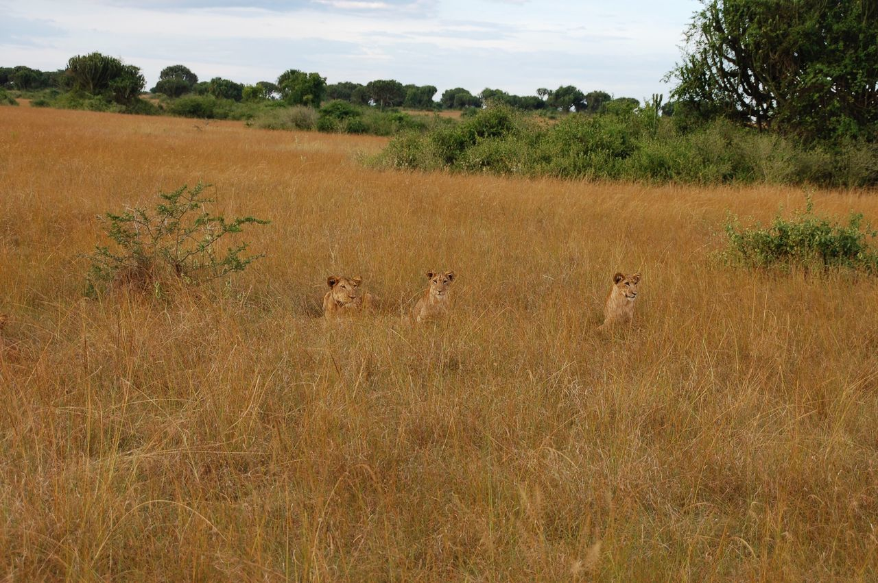 Blending in Lions Lioness Lion Cub Animal Themes No People Beauty In Nature Animals In The Wild Animal Wildlife Nature Uganda  Africa Outdoors Queen Elizabeth National Park Grass Field Natural Beauty Camouflage