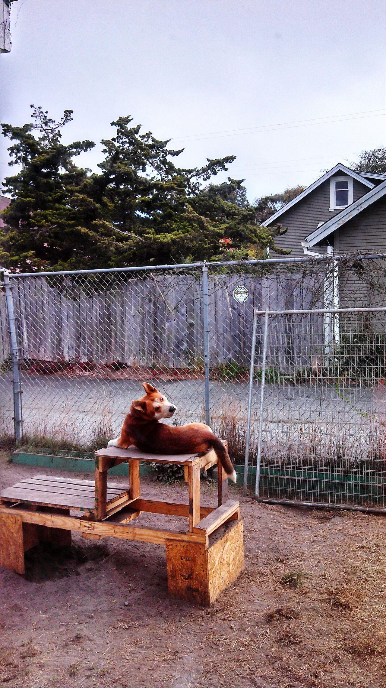 Guard Dog Cute Dog  Doggy Chillin Doggie At Work Dog Husky Dog Healer