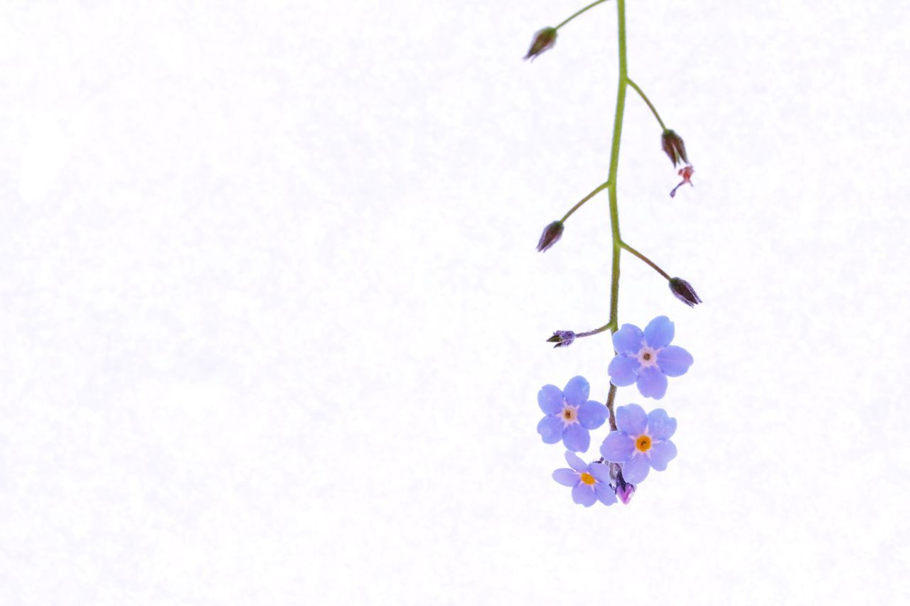 Copy Space White Color White Background Multi Colored No People Day Nature Flower Close-up Outdoors Forget Me Not