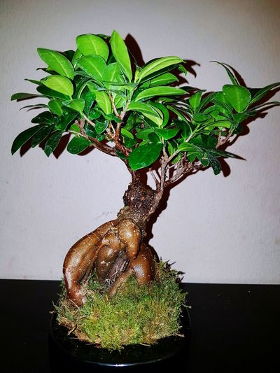 Bonsai Tree Plant Tree Nature Beauty In Nature Indoor Plants