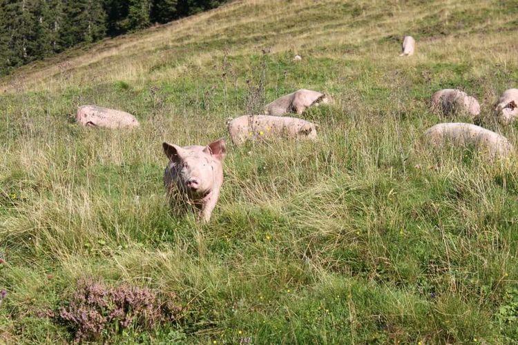 Taking Photos Nature Walking In The Nature Sunny Day Animals Porc Holiday In The Mountains Eigentlich dachte ich, dass man in den Bergen Kühe mit Glocken trifft...🐄🐖😄