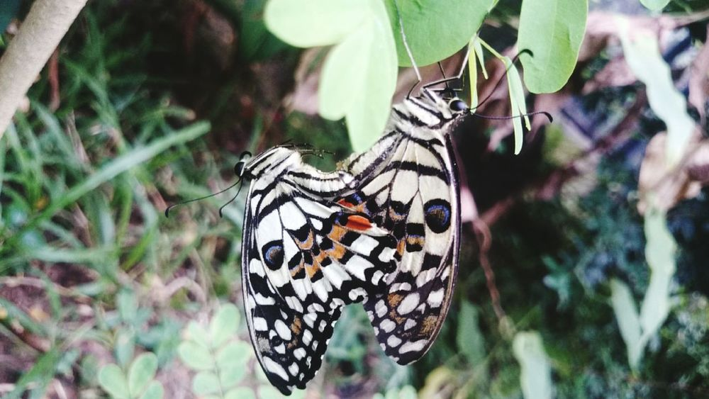 Butterfly having tooot