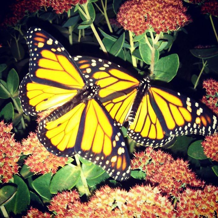 Newly hatched, Monarch butterfly's, Butterfly , Monarch , Beautiful ,