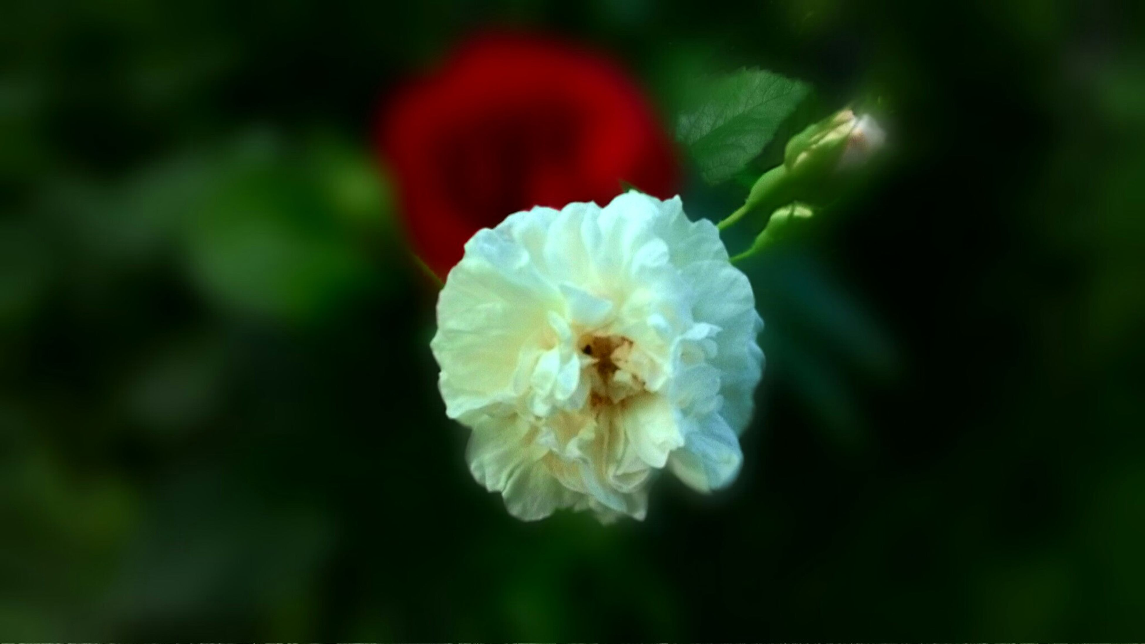 flower, petal, flower head, freshness, fragility, beauty in nature, close-up, growth, focus on foreground, single flower, nature, blooming, in bloom, white color, selective focus, blossom, plant, drop, springtime, no people